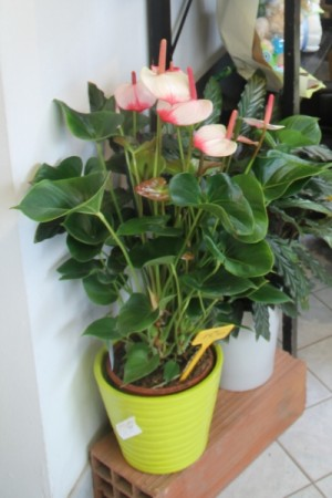 Anthurium , plante d'interieur
